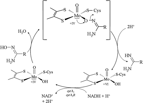 Postulierter Mechanismus des im Arbeitskreis Clement entdeckten humanen Enzyms mARC